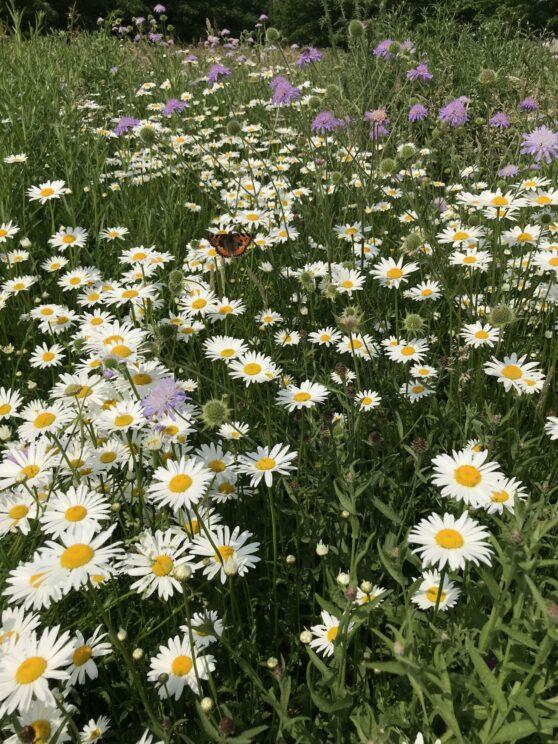 Inheemse bloemen brengen ook inheemse insecten terug