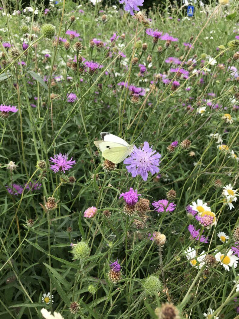 Terugkeer vlinders en bijen